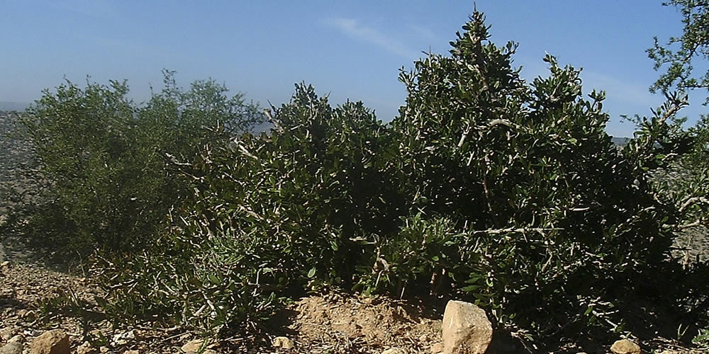 Plantations of Argan
